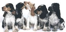 Ashbrook English Cocker Spaniels