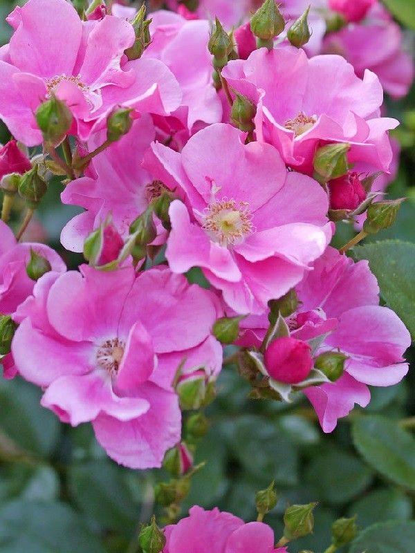 Lavender Meidiland – syn. 'Louis Blériot' – Meilland (2006) - ADR 2006. Bodembedekkende trosroos. Uitbundige permanente bloei. Halfgevulde lichtgeurende bloemen (4-5cm). De bloemblaadjes zijn bovenaan dieproze, onderaan lavendelroze en verbloeien naar lichtroze. Glanzend donkergroen blad. Quasi ziektevrij. 40/90cm x 70/150cm.