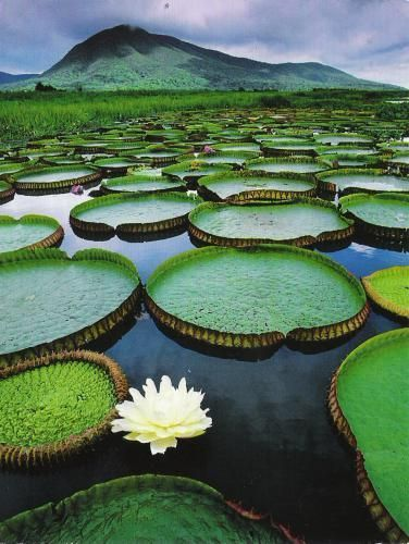Pantanal Conservation Area, Brazil. The Subtle lotuses add a delicateness to the thundering backdrop