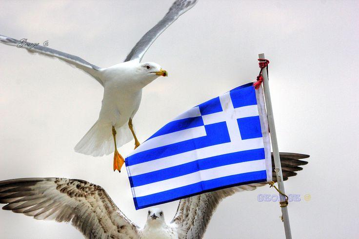 https://flic.kr/p/F9bpki | Birds in Greece |   #πουλιά #πτηνά #bird #birds #life #wild #wetland #Greece #Flight #flying #Beautiful #Nature #world #υγροβιότοπος #πετάω #φύση #animals #Greece #Ελλάδα #Macedonia #Photography #George  #eyes #@ #papaki #BirdsinGreece  #visitgreece #greekphotographers #europeanphotography #naturephotography #sea  #θάλασσα #water #feather #φτερό