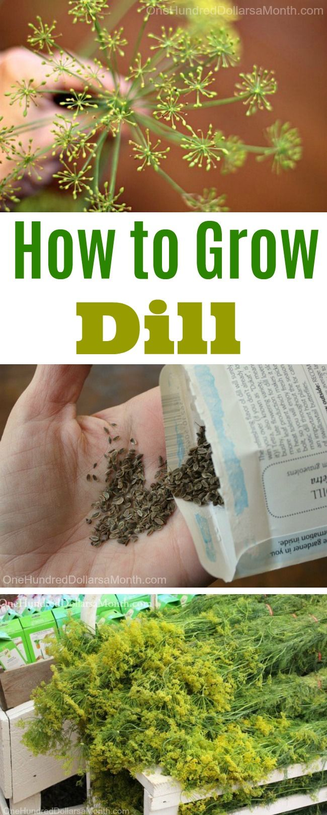 How to Grow Dill, Growing Dill, Seed Starting Tips, Planting Dill in Garden, Herb Garden Ideas