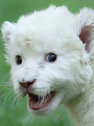 Bébé lion albinos