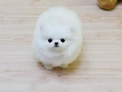 Cute Fluffy Dogs Wallpaper Teacup Pomeranian Puppies For Sale 250 Google Search
