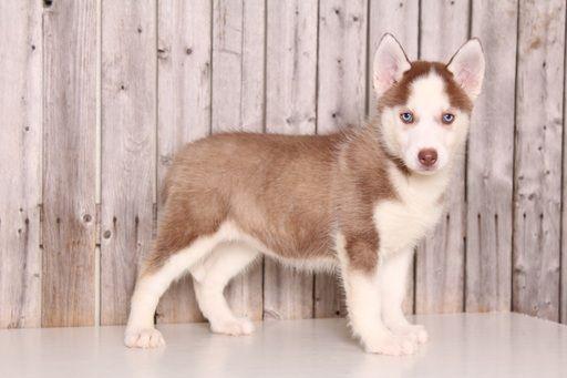 Siberian Husky puppy for sale in MOUNT VERNON, OH. ADN-52096 on PuppyFinder.com Gender: Female. Age: 9 Weeks Old