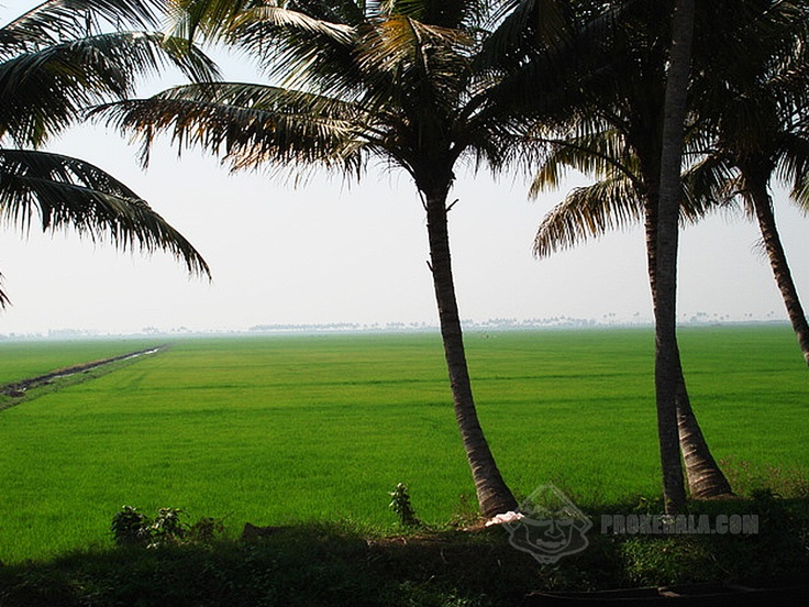 Hd Coconut Tree Seaside Landscape Nature Wallpaper Living: Kerala's Paddy Fields And Coconut Trees