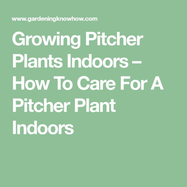 Growing Pitcher Plants Indoors – How To Care For A Pitcher Plant Indoors