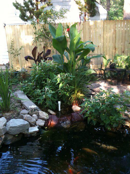 26 best images about bog garden on pinterest gardens for Koi pond plants