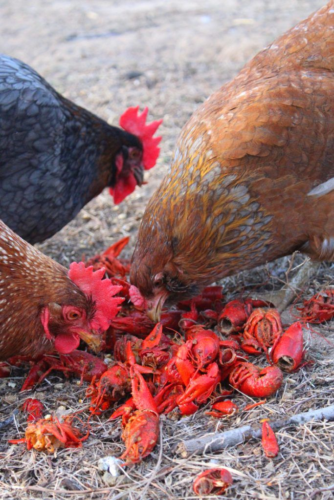 What Do Chickens Eat Araucana Chicken Crawfish Animal Sanctuary
