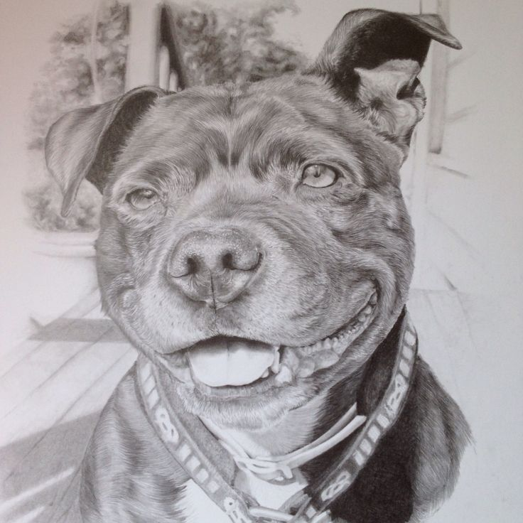 #staffy #petportrait #pencil #staffordshirebullterrier #illustration #drawing #dog