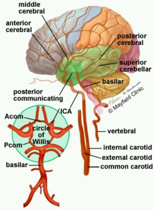 Neurology Brain Blood Circulation - It is important to understand this system in…