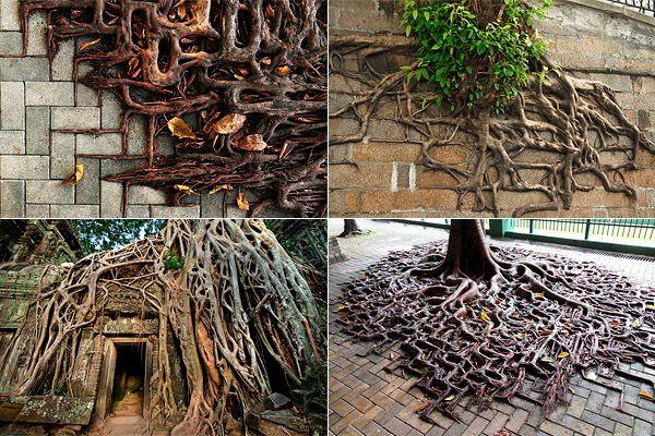 Корни деревьев, выживающих в городских условиях