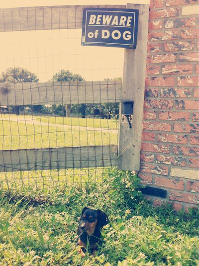 beware of dog! #dachshund