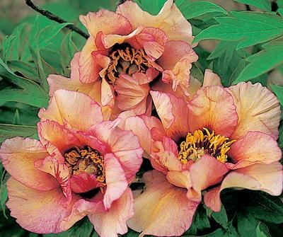 Klehm's Song Sparrow Farm and Nursery--Tree Peonies- Savage Splendor