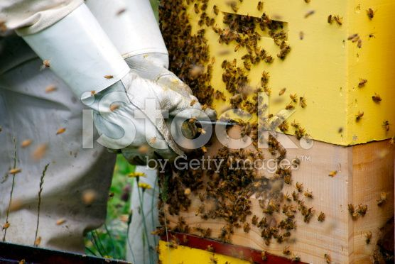 Beekeeper prises Hive off a stack of Beehives royalty-free stock photo