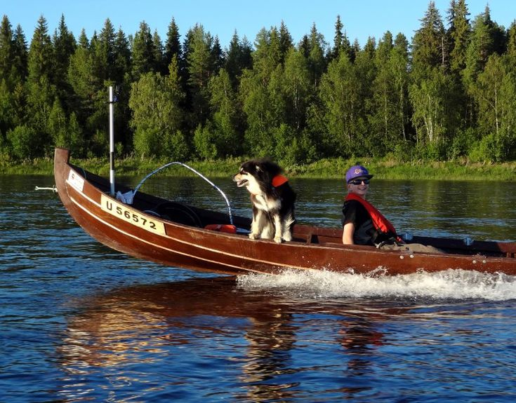 A Finnish Lapphund called Mosku, a reindeer dog which loves salmon fishing in the Tornio River in Pello