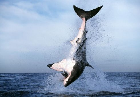 Cage Diving in Gansbaai, South Africa is the best shark cage diving destination in the world: Great White Shark Tours