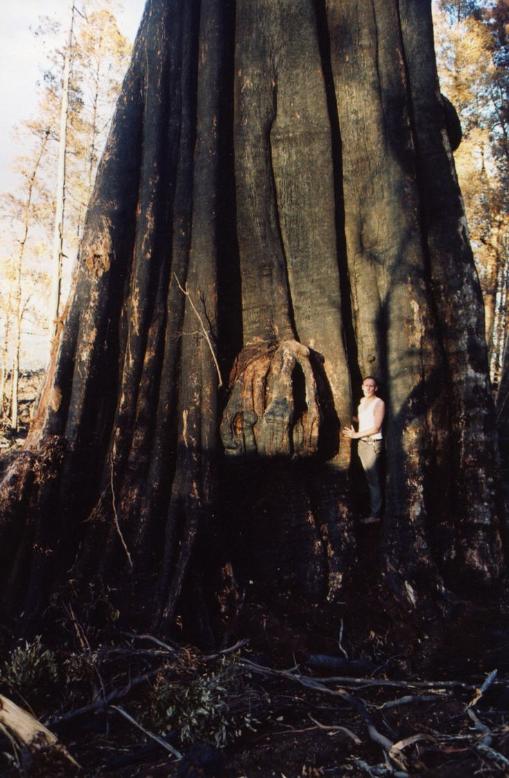 Brown Bob with El Grande, the biggest tree in Southern hemisphere which was burnt to death by Forestry Tasmania, 2003. #actionforearth #bobbrown #bobbrownfoundation #environment #tasmania #australia #aussie #tassie #rainforest #bushland #wild #wilderness #wildlife #photography #forest #logging #politas #sustainable #tourism #ecoconscious #ethical #earth #discovertasmania #brandtasmania #auspol