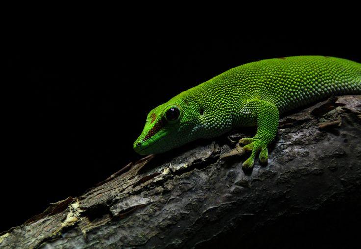 Green lizard by Laila Krakeli on 500px