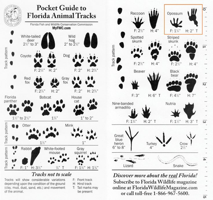Pocket Guide to Florida Animal Tracks: Track Guide, Animaltracksguid Jpg 1500 1413, Florida Animal Track, Lotg Survival Prep How, Lotg Survival Prep Fire Wat, Wildlife Animal, Camping Survival, Track Identification, Pocket Guide