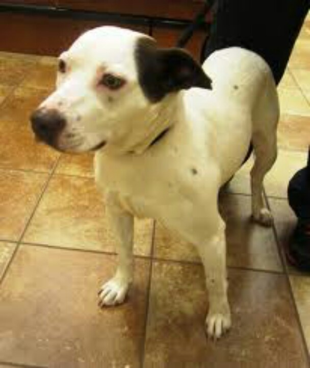 lab jack russell pit mix - photo #29