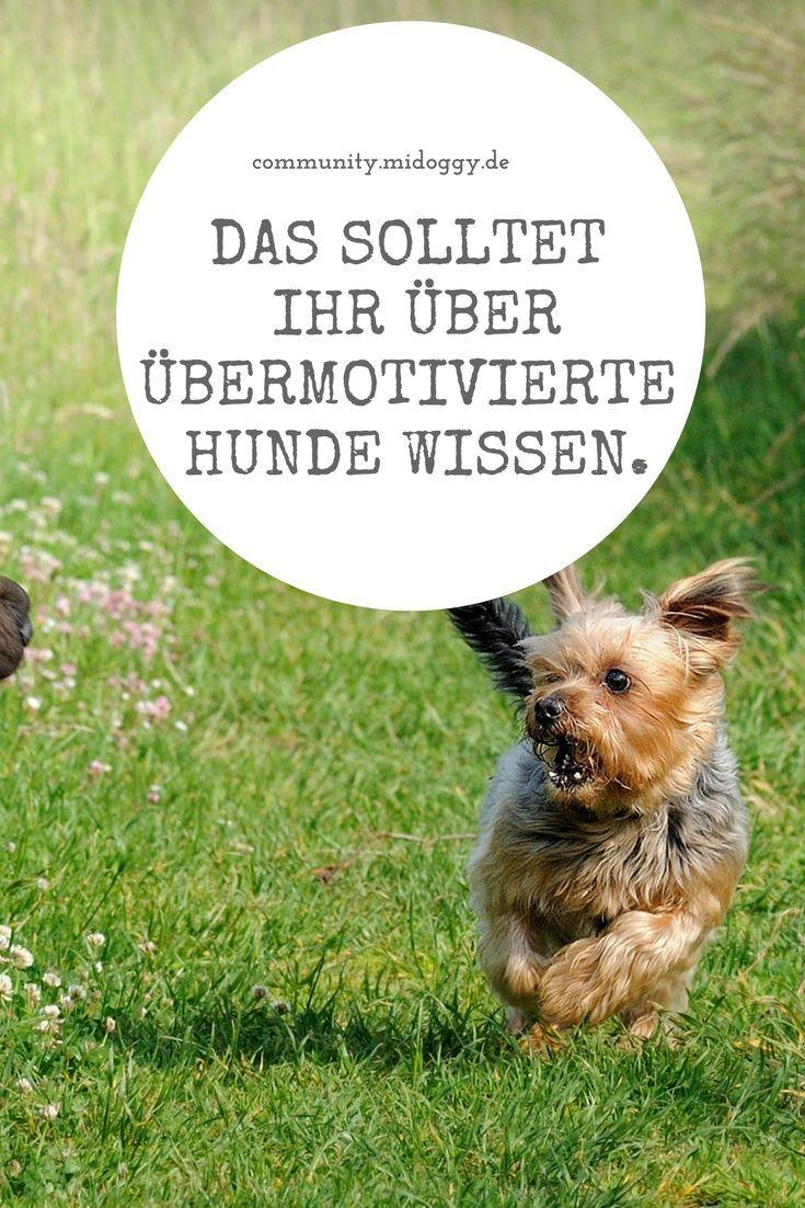 Der Ubermotivierte Hund Hunde Gesunde Hunde Und Hundetraining
