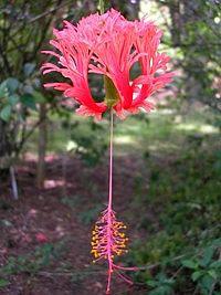 Arbusto de porte grande (entre 3 e 4 metros) com galhos longos e pendentes. As flores do hibisco-crespo são um espetáculo à parte. Delicadas, as pétalas são crespas e recurvadas e se apresent...