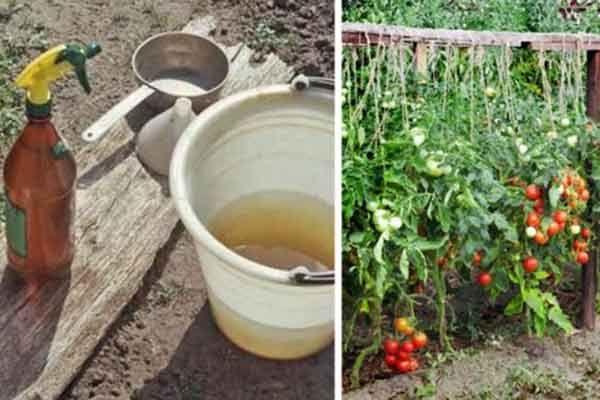 Nu sunt un grădinar foarte priceput, dar, odată ce m-am hotărât să-mi cultiv singur legumele în grădină, am ales să nu folosesc deloc chimicale la fertilizarea lor.  Vreau ca eu și familia mea să mâncăm cât mai sănătos, așa că încerc să pun mereu pe masă doar produse naturale și sănătoase.   Cel …