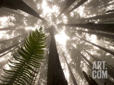 Coast Redwood Trees, Sequoia Sempervirens, in Fog Photographic Print by Phil Schermeister at Art.com