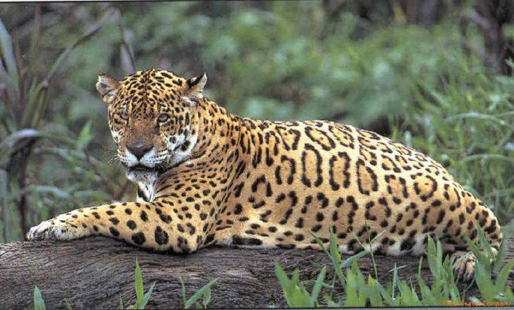 A beautiful Surinamese jaguar resting on a fallen tree. I love his spots!