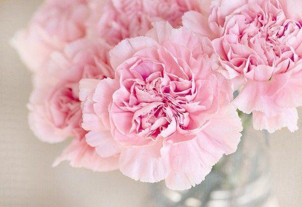 Розовые гвоздики на фото