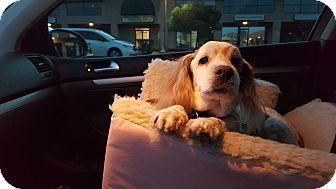 Phoenix, AZ - Brittany Mix. Meet SANDY, a dog for adoption. http://www.adoptapet.com/pet/17280369-phoenix-arizona-brittany-mix