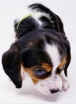 Beaglier puppy for sale in CANOGA PARK, CA. ADN-63716 on PuppyFinder.com Gender: Male. Age: 10 Weeks Old