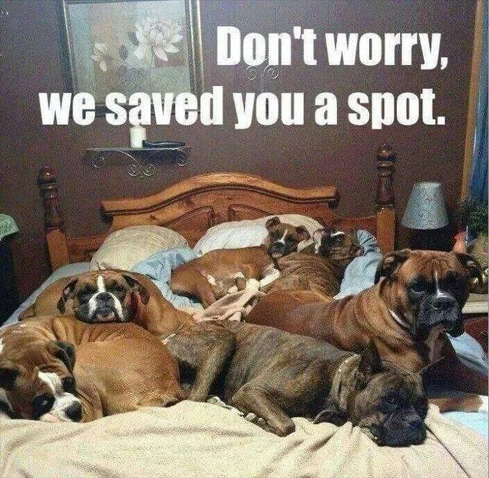 asavedyouaspot Funny animals, Funny dogs, Boxer dogs