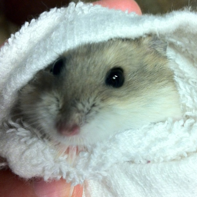 117 best images about hamsters on pinterest hamsters
