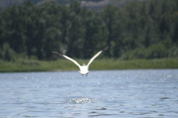 pelican, Red Deer river south