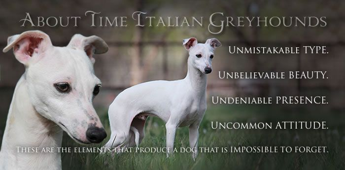 In a world of ordinary and conventional, only the most distinctive will ever leave a truly lasting impression. Italian Greyhound dogs and puppies that are impossible to forget. Unmistakable type. Undeniable elegance. Unbelievable beauty. Uncommon attitude. About Time Italian Greyhounds. www.AboutTimeIGs.com
