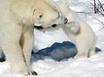 Ranuan jääkarhunpentu on täynnä energiaa keväthangilla. Lue pennun lumileikeistä ja katso video klikkaamalla kuvaa. Kuva: Jukka-Pekka Moilanen