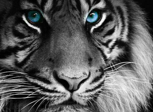 Blue eyed white tiger Animals beautiful, Tiger pictures