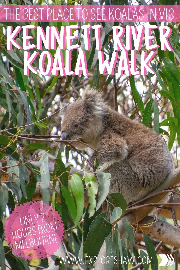 Kennett River Koala Walk The Best Place To See Koalas In Victoria Oceania Travel Melbourne Travel Australia Travel