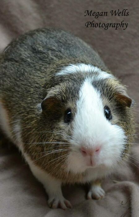 Meet Flurry who cam to us from a local animal shelter where he had been left. Flurry's name fits him because he will do laps around his cage at the pace of an Indy car. He still needs work on lap time and would do best in a home with older kids.