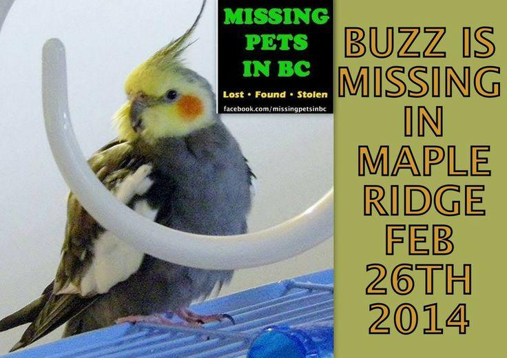 BUZZ IS MISSING IN MAPLE RIDGE-121 Avenue, between 224 & Edge Street