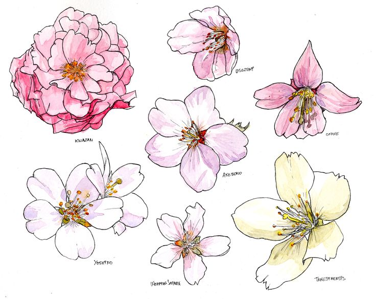 Cherry Blossom study. Watercolour and ink pen.