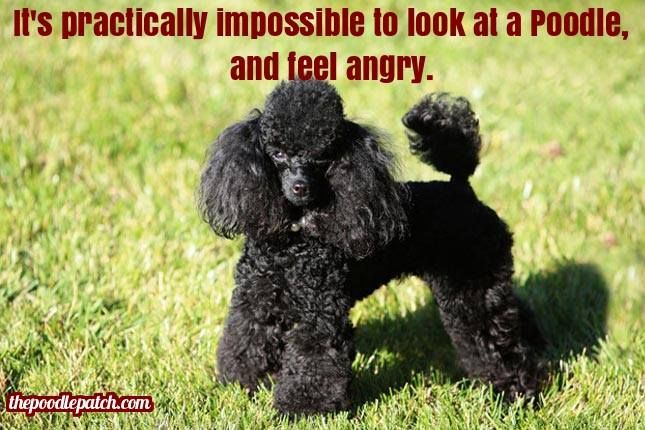 ITS PRACTICALLY IMPOSSIBLE TO LOOK AT A POODLE AND FEEL ANGRY