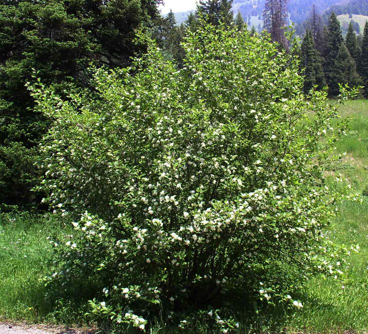 Amelanchier alnifolia (http://www.worldbotanical.com/amelanchier.htm)