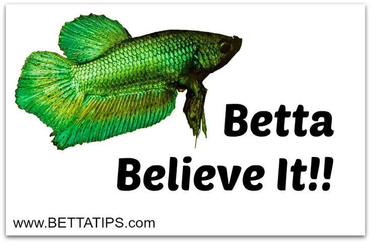 11 best betta diseases images on pinterest for Betta fish behavior