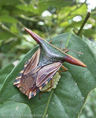 A dedicated shield bug (Pygoplatys lancifer Walker, 1868) guarding her precious bunch of eggs