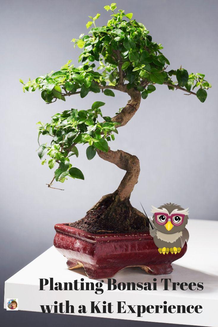 Planting Bonsai Trees With A Kit Experience In 2020 Bonsai Tree Plants Bonsai