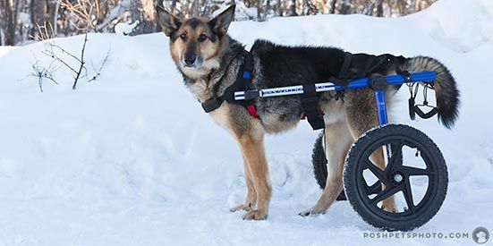 Large Rear Walkin' Wheels Wheelchair  Prices Starting at $439.00 Available in Pink or Blue or Camo Fits perfectly now, and also as your dog's health changes. Only one measurement required, The Dog wheelchair Wizard determines the size for your dog. Fits dogs from 70 to 180 lbs. Overnight shipping available. Typically Ships same day Folds flat for easy transport. Fits in tote bag. Easy to resell because it can be adjusted and used on any dog.