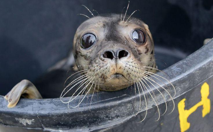 ㅇ: Animal Pics, Animal Pictures, Animals, Tubs, Friedrichskoog, Young Seals, Seals Nurseries, Big Eye, Northern Germany