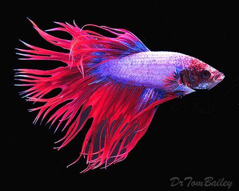 Betta  http://www.aquariumfish.net/images_01/betta_male_crowntail_camb_100814c2_w0480.jpg